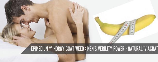 Horny Goat Weed Untuk Gairah Seks